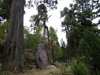 丽江城中的古树名木